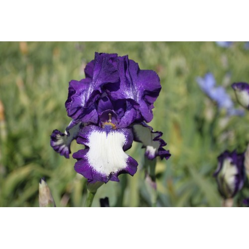 Plante- Iris germanica Stepping Out