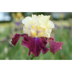 Plante- Iris germanica Summer Fiesta