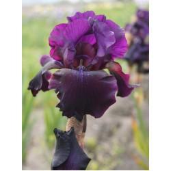 Plante- Iris germanica Superstition