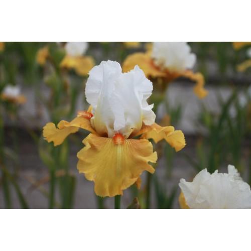 Plante- Iris germanica Yes