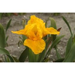 Plante- Iris pumila Orange Caper