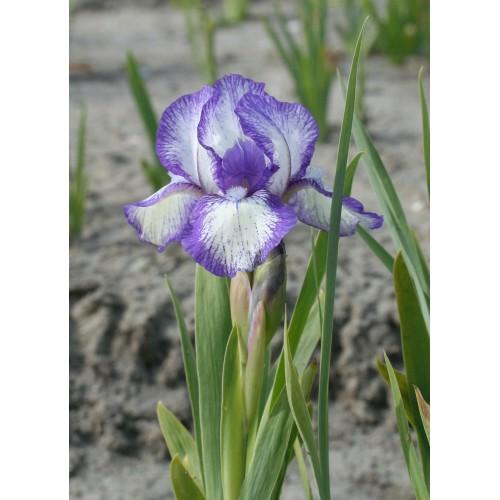Plante- Iris pumila Petite Polka
