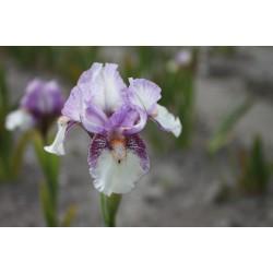 Plante- Iris pumila Sequel