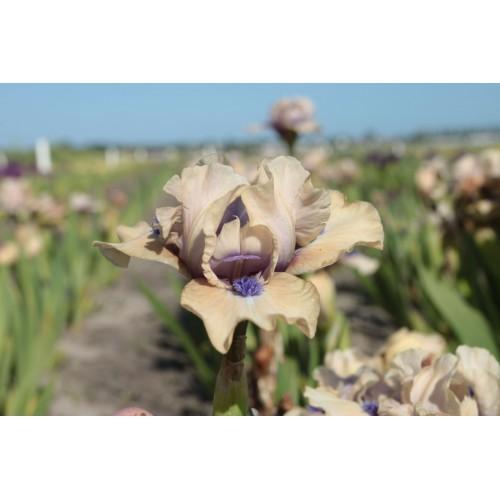 Plante- Iris pumila Tickled Peach