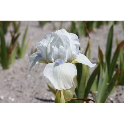 Plante- Iris pumila Westar