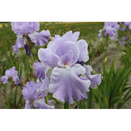 Plante- Iris germanica Mary Francis