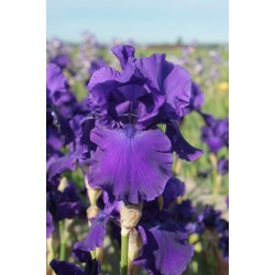 Plante- Iris germanica Titan's Glory
