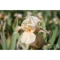 Plante- Iris germanica Apricot Silk