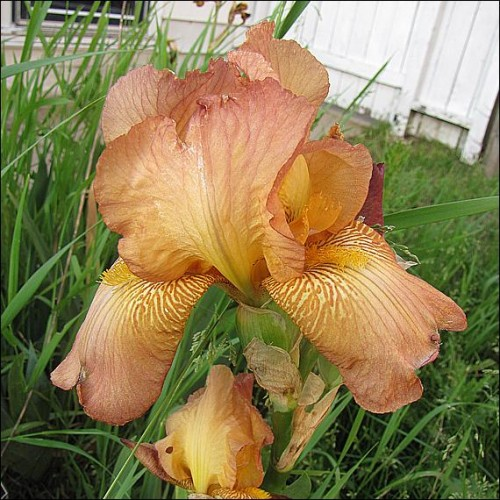 Plante- Iris germanica Belle de Juin