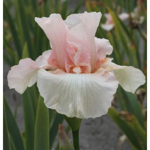 Plante- Iris germanica Beverly Sills