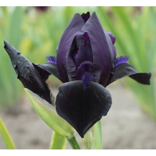 Plante- Iris germanica Black Watch