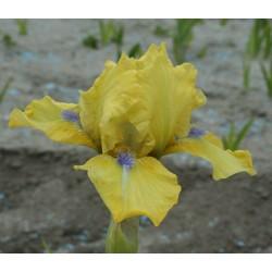 Plante- Iris germanica Blue Eyed Blond