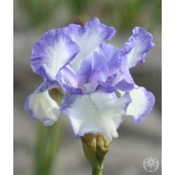 Plante- Iris germanica Blue Icing