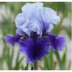 Plante- Iris germanica Blushes
