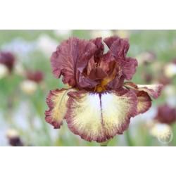 Plante- Iris germanica Burgundy Brown