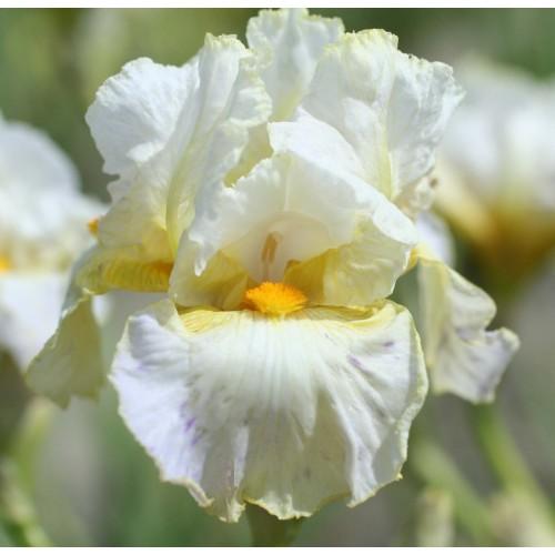 Plante- Iris germanica Christening Party