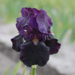 Plante- Iris germanica Darkness