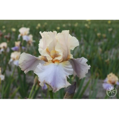 Plante- Iris germanica Dualtone