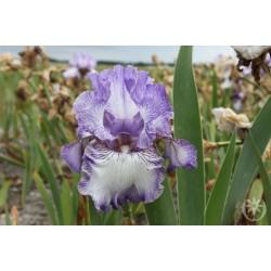 Plante- Iris germanica Earl of Essex