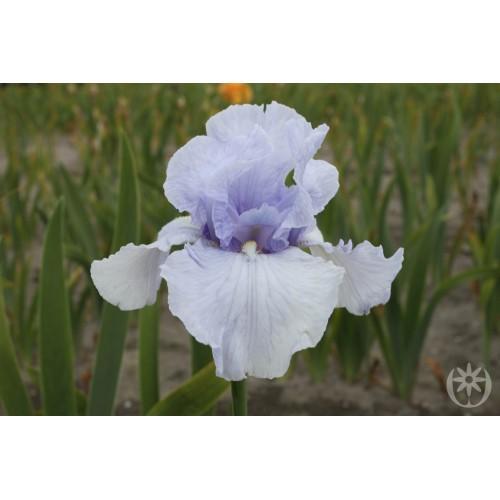 Plante- Iris germanica Flair