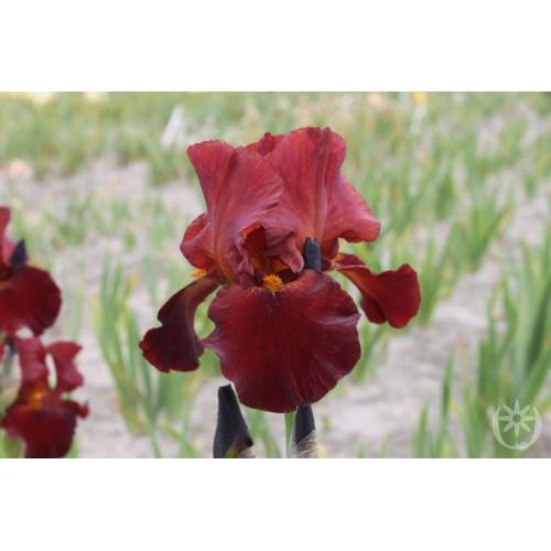 Plante- Iris germanica Grand Chief