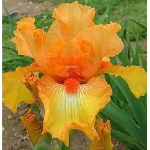 Plante- Iris germanica Frizzy Lizzy