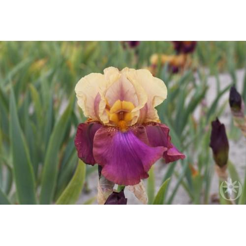 Plante- Iris germanica Gala Madrid