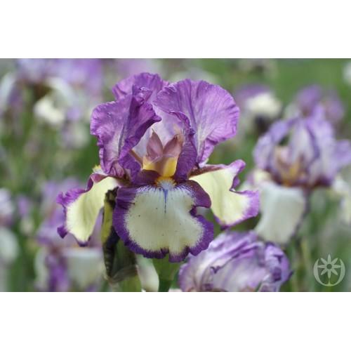 Plante- Iris germanica Garribaldi
