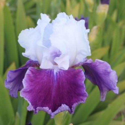 Plante- Iris germanica Gay Parasol