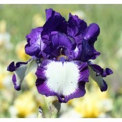 Plante- Iris germanica Gilvey