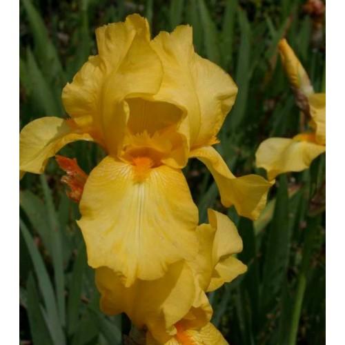 Plante- Iris germanica Goldfackel