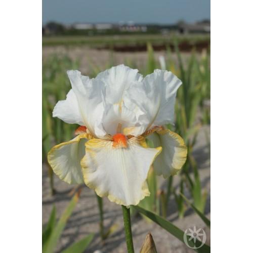 Plante- Iris germanica Halloween Halo