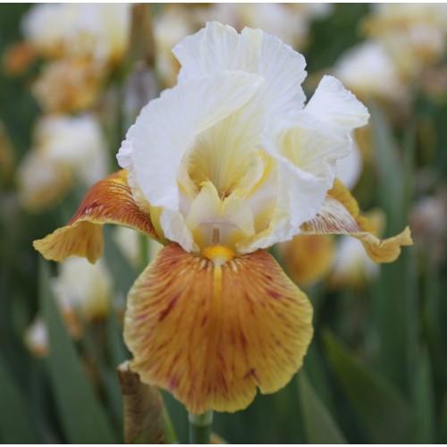 Plante- Iris germanica Honey Glazed