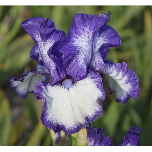 Plante- Iris germanica Kissing Circle
