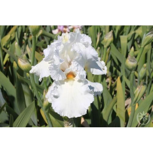 Plante- Iris germanica Lacy Snowflake