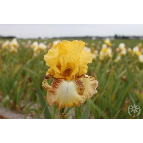 Plante- Iris germanica Limerick