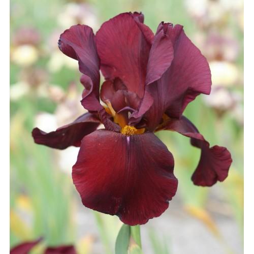 Plante- Iris germanica Man from Rio