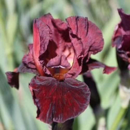 Plante- Iris germanica Morning Show