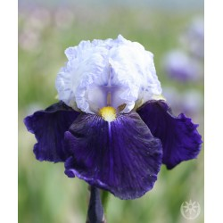 Plante- Iris germanica Night Edition