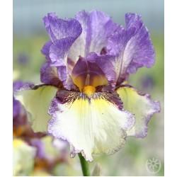 Plante- Iris germanica On the Go