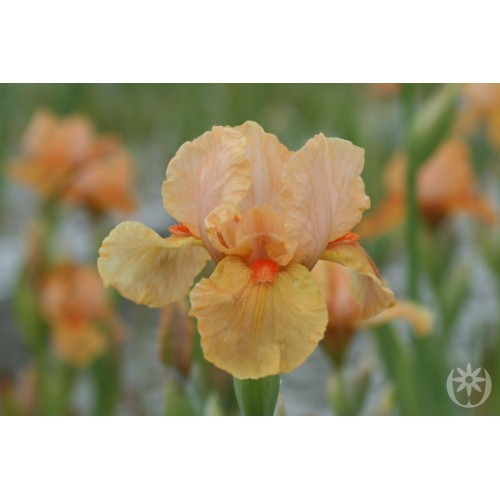 Plante- Iris germanica Orange Petals