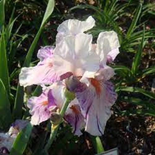 Plante- Iris germanica Peach Jam
