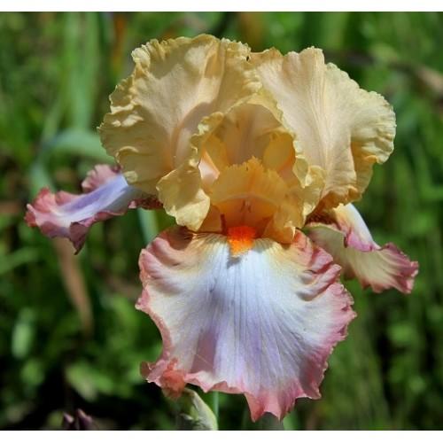 Plante- Iris germanica Peach Picotee