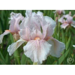 Plante- Iris germanica Pink Horizon
