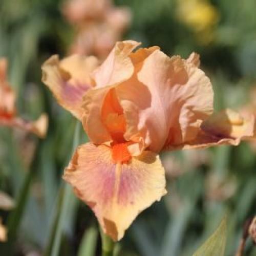 Plante- Iris germanica Pink Pele