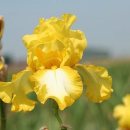 Plante- Iris germanica Radiant Apogee