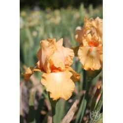 Plante- Iris germanica Robusto