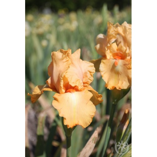 Plante- Iris germanica Robusto