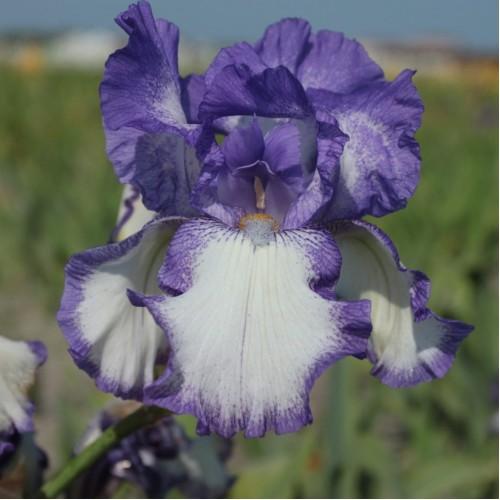 Plante- Iris germanica Rococo
