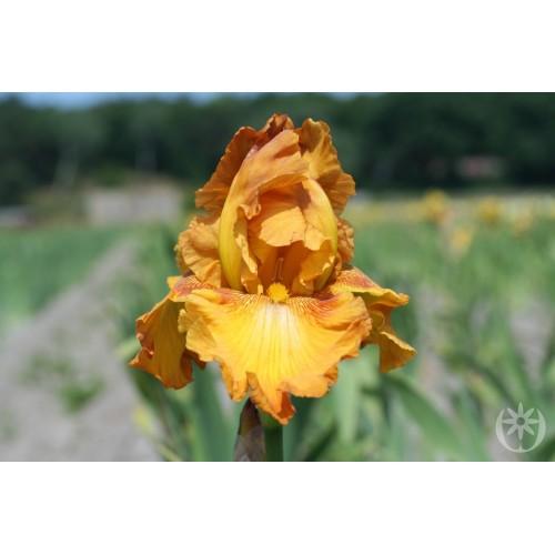 Plante- Iris germanica Rustic Cedar